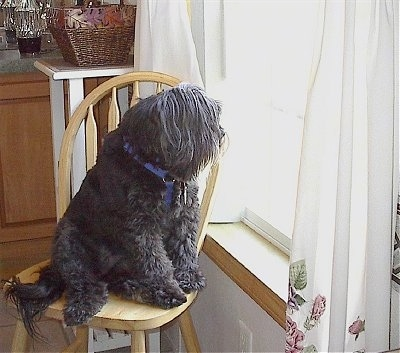 The front right side of a silver-gray Tibetan Terrier that is sitting in a wooden chair and it is looking out of a sunny window that is to the right of it.