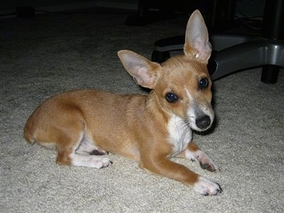Side view - A blue fawn Toy Rat Terrier is laying across a carpet and its head is tilted to the left. It has large perk ears and a long skinny snout. Its body looks long compared to its short legs.