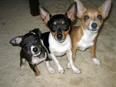 Top down view of three Rat Terriers that are sitting on a tan carpet looking up. The first dog is smaller with one ear out to the side and the other flopped over to the front and the other two dogs are larger with large perk ears.