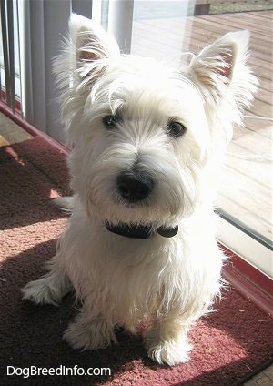 A white West Highland White Terrier is sitting on a red rug and to the right of it is a sliding glass door. It has fringe hair on its perk ears and a black nose and black eyes.