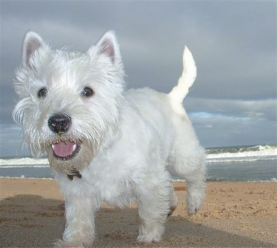 A Westie dog is walking across a sandy beach. Its mouth is open and it looks like it is smiling. There are ocean waves in the distance.