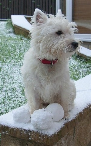 A West Highland White Terrier is sitting on a snowy brick surface and it is looking to the right. There are 3 snowballs in front of it. The dog has scruffy looking fur on its snout and softer looking hair on its belly, chest and legs.