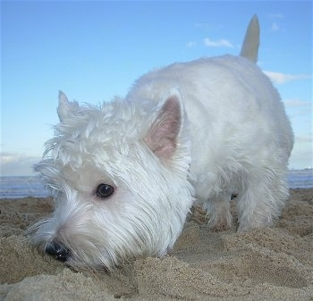 A Westie dog is sniffing across the sand at a beach with the ocean water behind it.