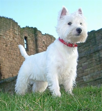 The front right side of a West Highland White Terrier that is wearing a red collar. It is standing across a grass surface and there is a dismantled brick building behind it. The dog has small perk ears and longer hair on its face with a black nose and dark almond shaped eyes.