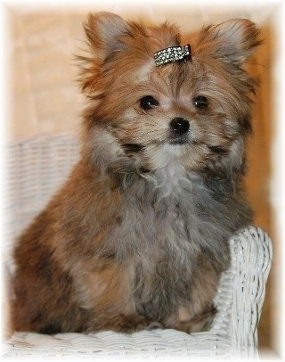 Yorkie Puppies on Pom And Her Dad Is Yorkie   Photo Courtesy Of Tender Loving Puppies