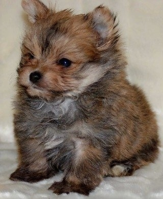 6 week old Yoranian puppy. Mom is Pom, dad is Yorkie