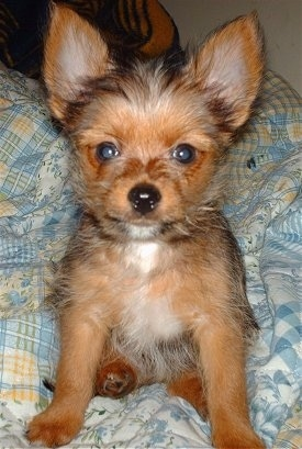 Teddy, a 10 week old Yoranian male dog. Teddy's mom is a Yorkie and dad is a Pom