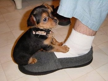 A short coated, black with brown Yoranian puppy is sitting on the foot of a person wearing a gray slipper. It has small ears that fold over to the sides.
