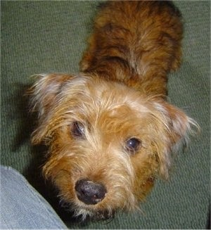 Top down view of a brown Yorkie Russell puppy that is standing on a carpeted surface and it is looking up. It has thin blonde hair in front of its eyes and a black nose.