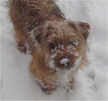 Harvey, the Yorkie Russell at 6 months old playing in the snow