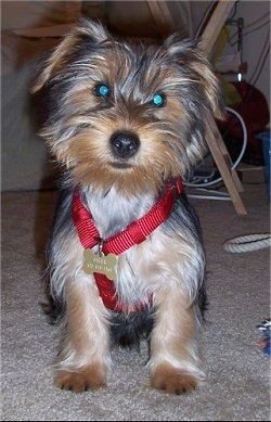 A black with brown and white Yorkipoo puppy is sitting on carpet and it is looking forward. The puppy has on a red harness. It has longer hair on its face and ears that hang down to each side, a black nose and wide round eyes.