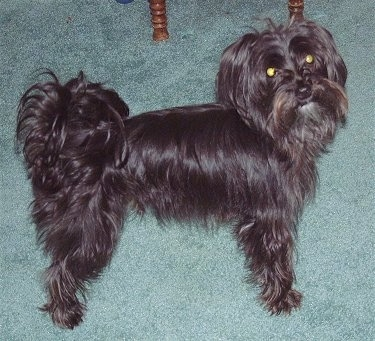 Bentley, the Yorkshire Terrier/Maltese Cross (Yorktese) at 2 years old