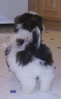 The back of a white and black Zuchon puppy that is standing on a tiled floor. It is looking up and to the right. Its tail is up in the air.