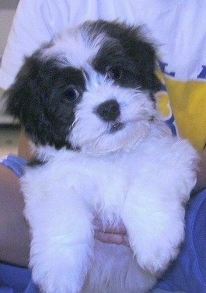 Close up front view - A thick coated, white with black Zuchon puppy is being held in the lap of a person. It looks like a stuffed toy.