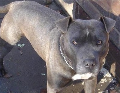Close Up - A grey with white Irish Staffordshire Bull Terrier is wearing a choke chain collar standing on a street