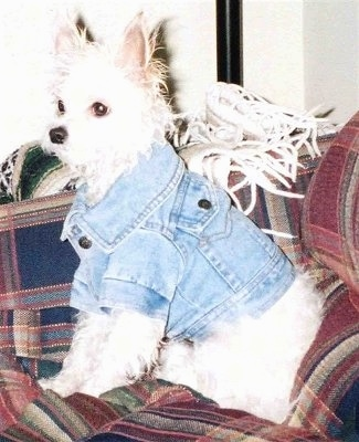 Side view - A white Malchi is sitting on a red plaid couch wearing a jean jacket.