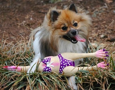 Front view - A brown with black and white Pomeranian dog is standing in grass and on top of a rubber chicken wearing a bikini. The dog is looking forward, its panting and its head is tilted to the left.