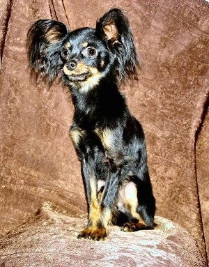 Close Up front side view - A black and tan Russian Toy Terrier is sitting on a brown chair looking forward.