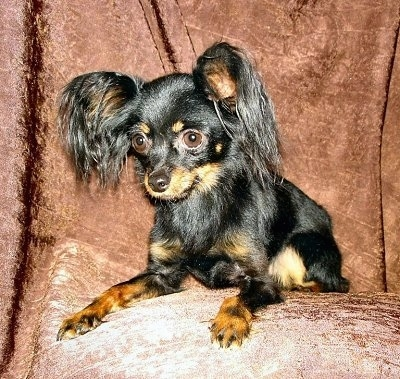 Close Up front side view - A black and tan Russian Toy Terrier is laying on a brown chair and it is looking over the edge. It has longer hair on its ears