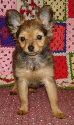 Front view - A tan with black Russian Longhaired Toy Terrier puppy is standing on a chair with a knit quilt behind it.