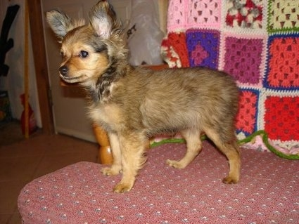 Side view - A tan with black tipped Russian Longhaired Toy Terrier puppy is standing on a wooden chair with a maroon cushion and it is looking over the edge. There is a knitted quilt over the back of the chair.