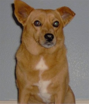 A reddish-brown with white Shocker dog is sitting on a hardwood floor, it is looking forward and its head is slightly turned to the right. It has wide round eyes, one ear perked up and the other ear is up with the tip curved over to the front. It has a black nose and white on its chest.