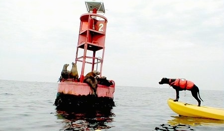 KC the Labrabull is wearing a orange life vest and sitting at the edge of a yellow raft that is floating in water. There is a Buoy with the number 2 on it with 4 seals on the buoy