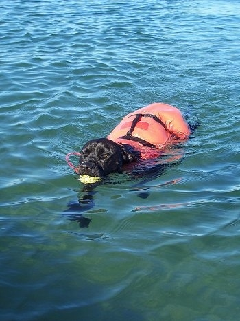 KC the Labrabull is wearing an orange life vest swimming in water with an object in its mouth