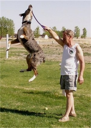 Houligan the Catahoula Leopard in mid-air at the highest point of its jump grabbing an object the person next to it is holding