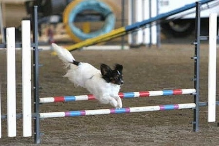 A Papillon dog is jumping over a white, blue and red agility bar on an obstacle course