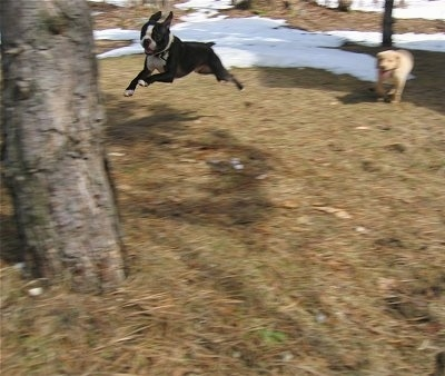 Arthur the Boston Terrier is jumping towards a tree. There is another dog in the background