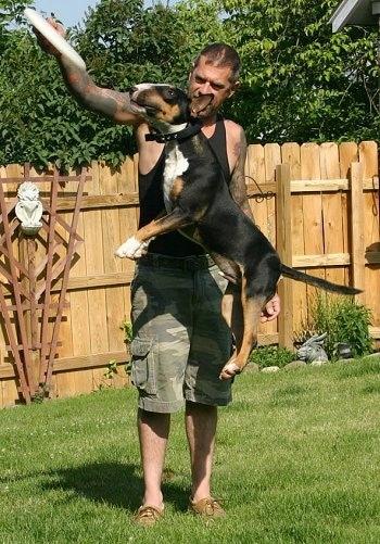 لكلب الثور(Bull Terrier)الانواع +صور+فيديوهات AMBullTerrierZiggyFrsb