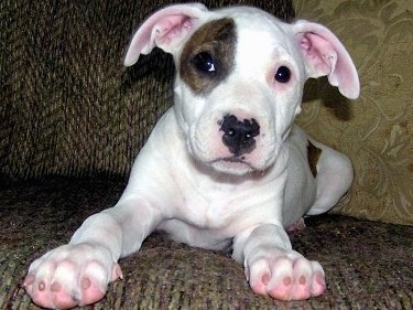 Nala, the Pit Bull as a young puppy