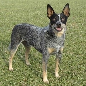 Coyote the Australian Cattle Dog is standing outside and looking towards the camera holder. Its mouth is open.