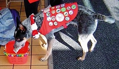 Coyote the Australian Cattle Dog is dropping money into a red bucket