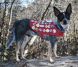 Coyote the Australian Cattle Dog is wearing a dog scout uniform with badges all over it, while standing on a log.