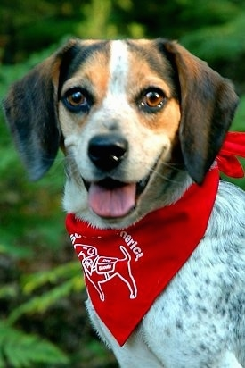 Close Up - Baron von Beaglestein the blue-tick Beagle is wearing a red bandanna with a dog on it. It is looking at the camera holder. Its mouth is open and its tongue is out