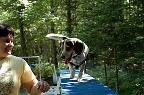 Bear the Blue Tick Beagle is walking across a blue agility plank. There is a person next to Bear