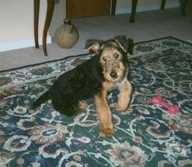 The right side of a black with tan Airedale Terrier puppy is sitting on a carpet next to a pink dog bone toy