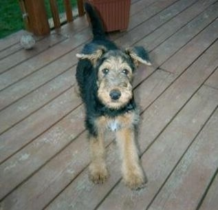 A black with tan top down view of an Airedale Terrier puppy that is standing on a wooden porch