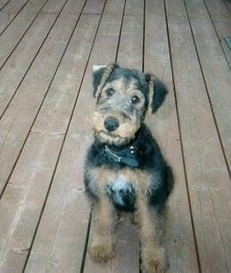 A black with tan Airedale Terrier Puppy is sitting on a wooden deck and it is looking up.