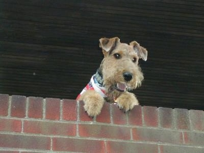 A black with tan Airedale Terrier is wearing a red, white and blue bandana jumped up at with its front paws on a brick wall looking over the edge. Its mouth is open and it looks like it is smiling.