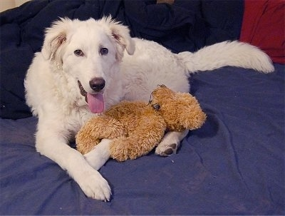 Akbash Dog laying on a blanket with a Teddy Bear