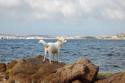 The back of a white Akbash Dog standing on a rock and looking at a body of water. The dog is smelling the air.
