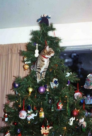 Rusty the kitten is standing near the top of a decorated Christmas tree perched on the top branches and looking to the right