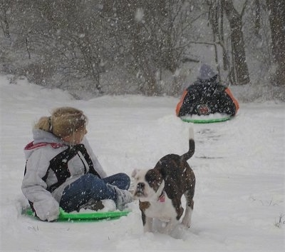 Leia the American Bulldog playing with sledding kids in the snow