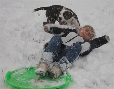 Leia the American Bulldog playing in the snow with a sledding child