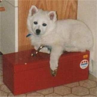 The left side of a white American Eskimo puppy that is laying on top of a toolbox with a wooden door behind it