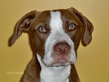 Close Up - A brown with white Pit Bull Terrier is sitting in front of a yellow wall and it is looking forward.