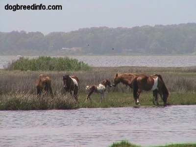 Four full grown ponies and a colt in a marshy area